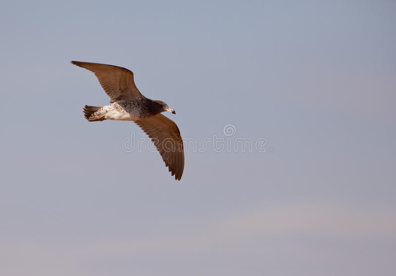 Franklin's Gull in flight stock image