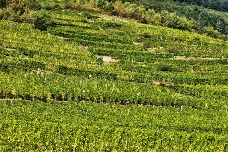 Frankreich, berühmter Weinberg von Kaysersberg in Elsass stockfoto