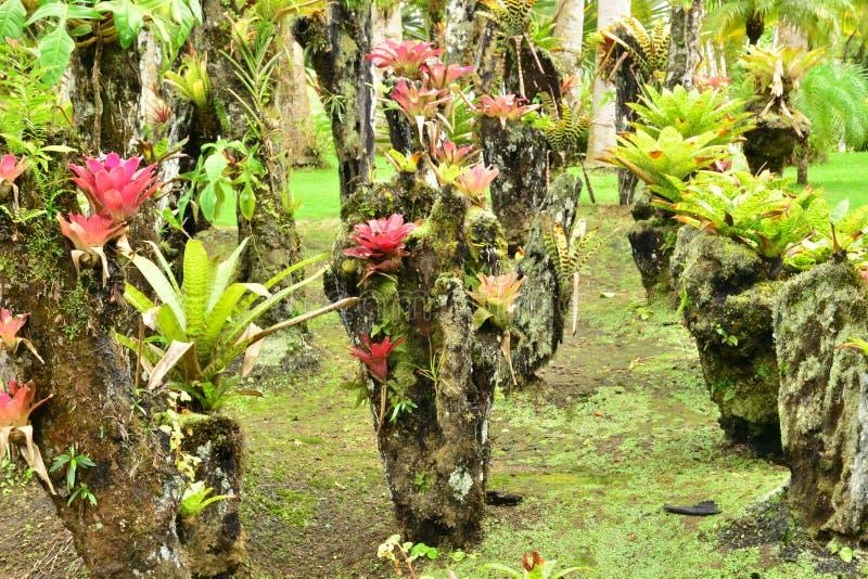Frankreich, der malerische Garten des Balatabaums in Martinique lizenzfreie stockfotos