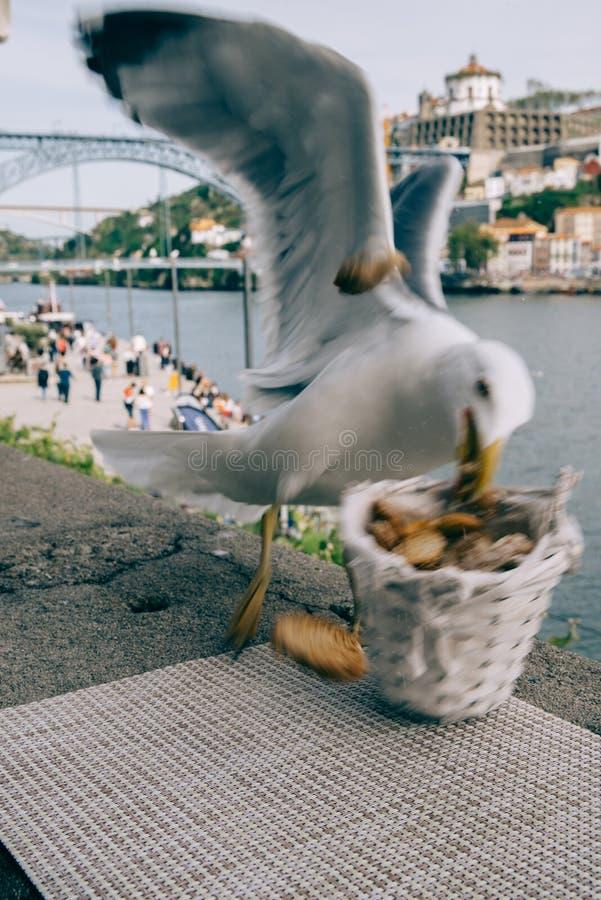 Frankt skott av seagullen i det Porto centret, Portugal som tar en brödkorg royaltyfria foton