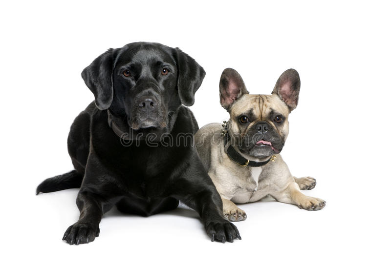 Frans Buldog en Labrador stock foto's