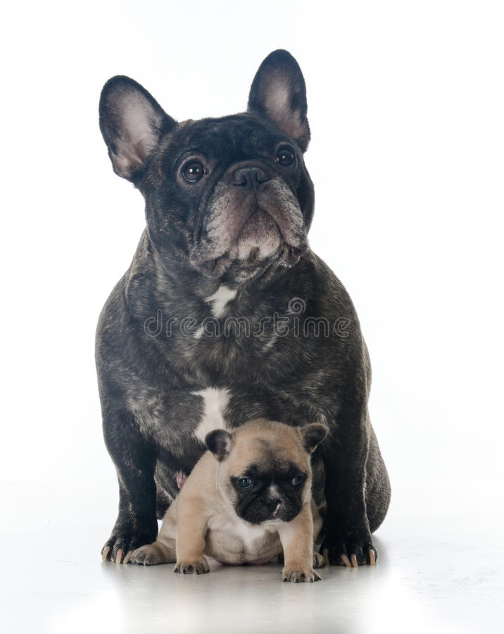 Frans buldogmoeder en puppy stock fotografie