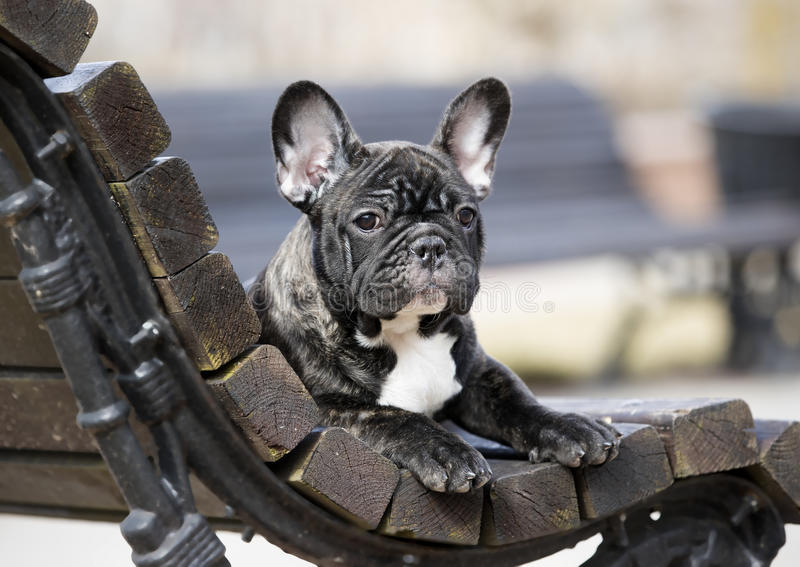 Franse buldog royalty-vrije stock afbeeldingen