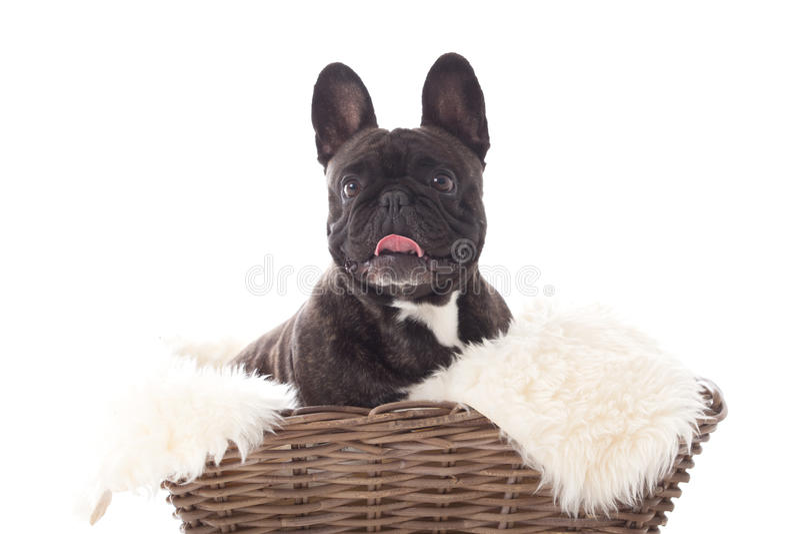Franse buldog in a basket stock photography