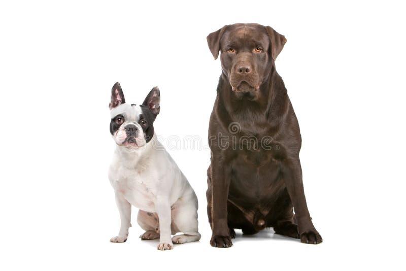 Franse Buldog (frenchie) en een chocolade Labrador stock fotografie