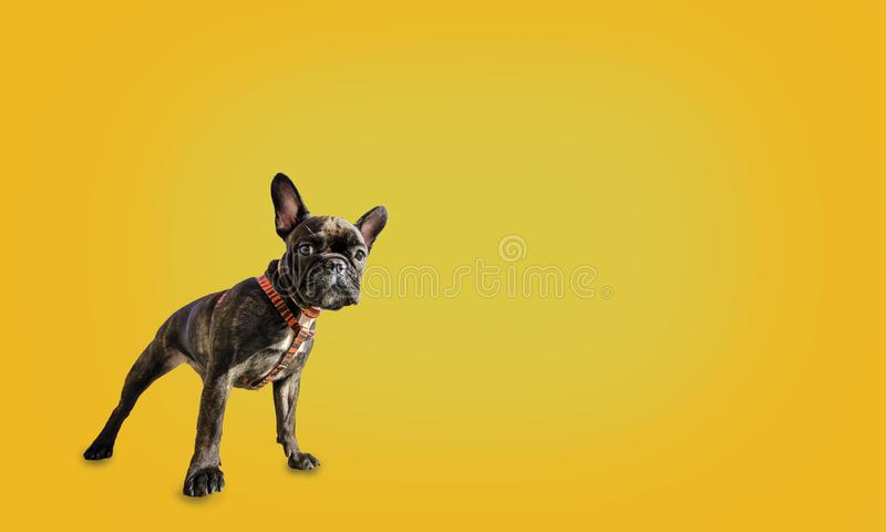 Franse buldog op een gele achtergrond met copyspace royalty-vrije stock fotografie