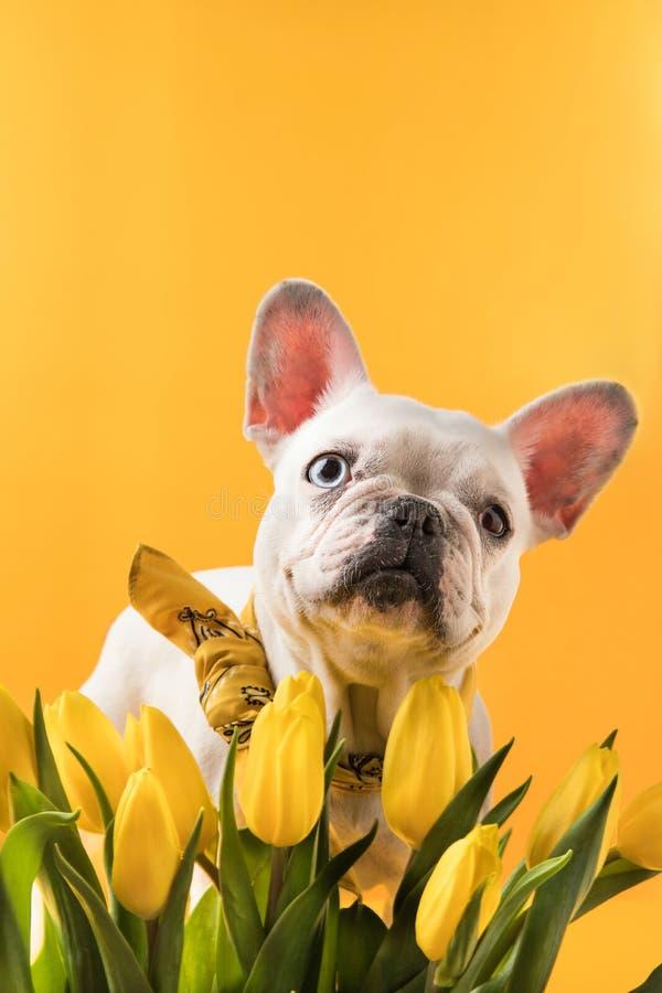 Franse buldoghond en mooie gele tulpen stock foto
