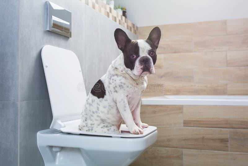 Franse buldogzitting op een toiletzetel in badkamers royalty-vrije stock afbeeldingen