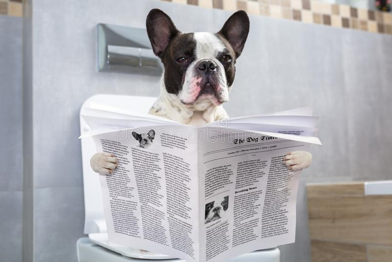 Franse buldogzitting op een toiletzetel met de krant stock fotografie