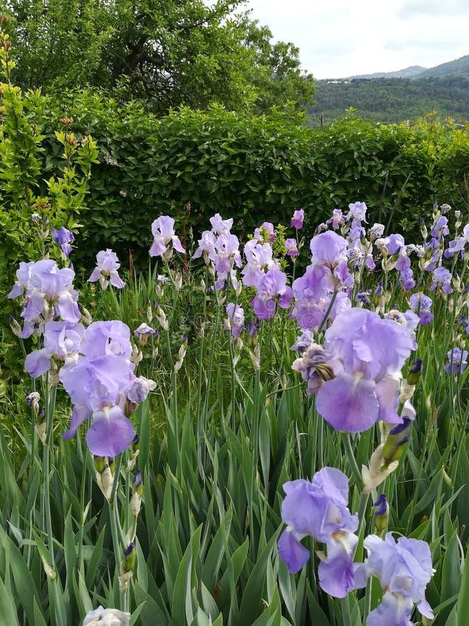 Franse iris royalty-vrije stock foto's