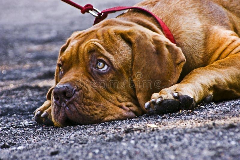 Franse Mastiff royalty-vrije stock foto's