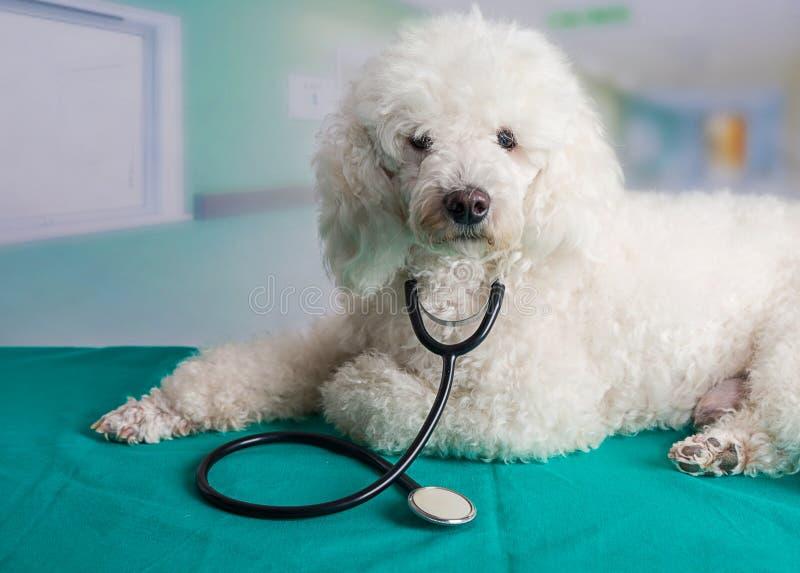 Franse poedel met een stethoscoop stock foto
