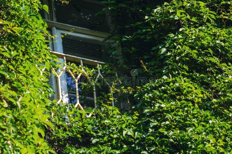 Fransk balkong i gammal byggnad som täckas med murgrönan royaltyfria bilder