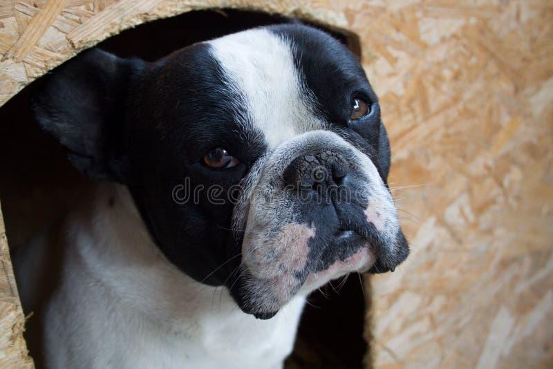 Fransk bulldogg arkivbild