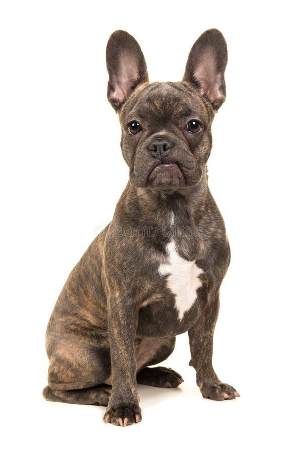 Fransk bulldogg för gullig sammanträdebrunt royaltyfri foto