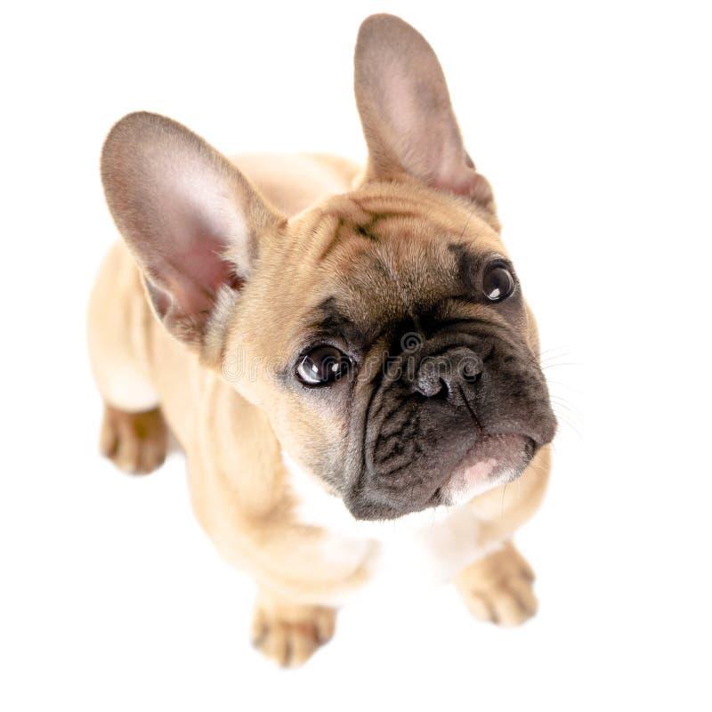 Fransk bulldogg för vit bakgrund arkivfoto