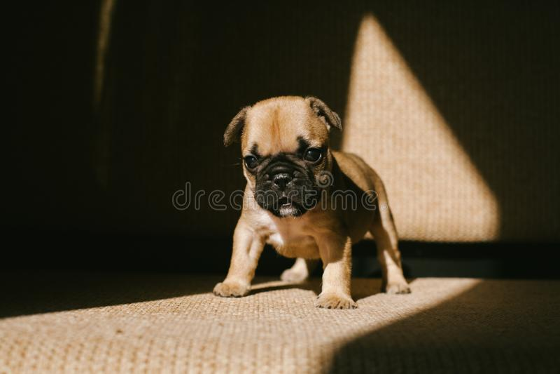 Fransk bulldogg f?r gullig beige valp fotografering för bildbyråer
