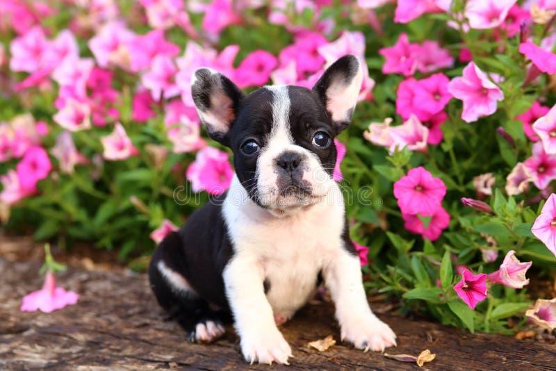 Fransk bulldogg framme av blommor royaltyfria foton