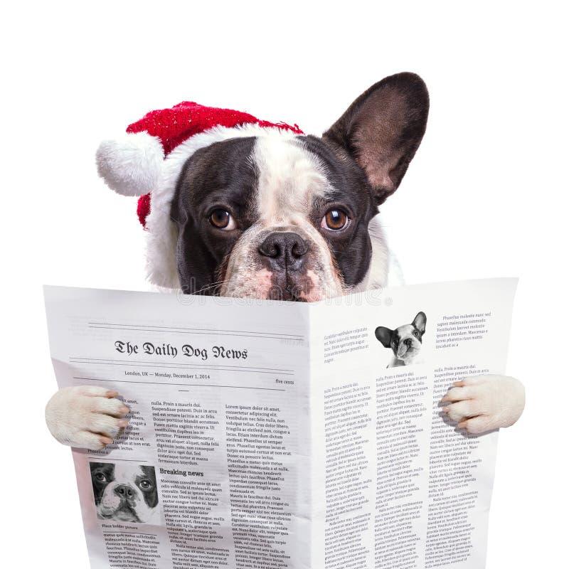 Fransk bulldogg i läs- tidning för santa hatt royaltyfria bilder