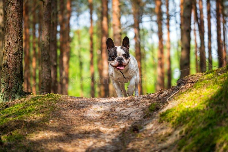 Fransk bulldogg i skogen arkivfoto
