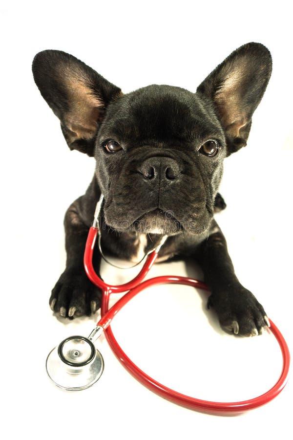 Fransk bulldogg i studio royaltyfri foto