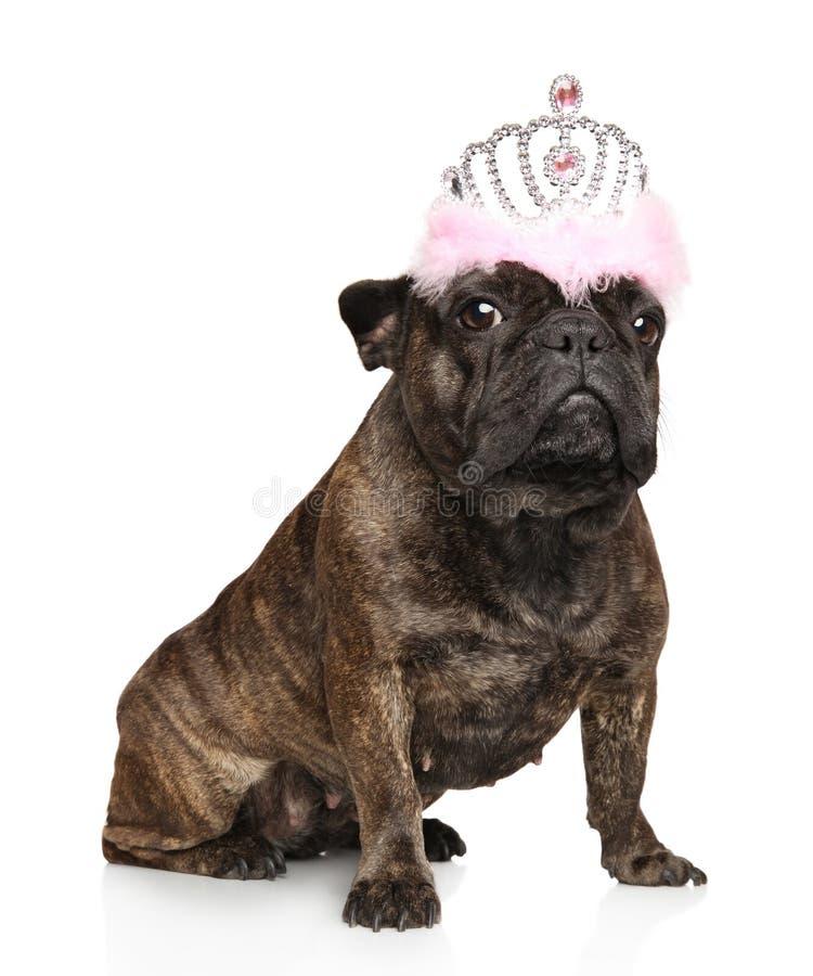 Fransk bulldogg med en krona royaltyfri fotografi