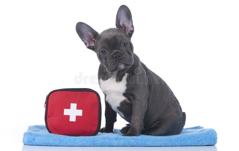 Fransk bulldogg med första hjälpensatsen arkivfoton