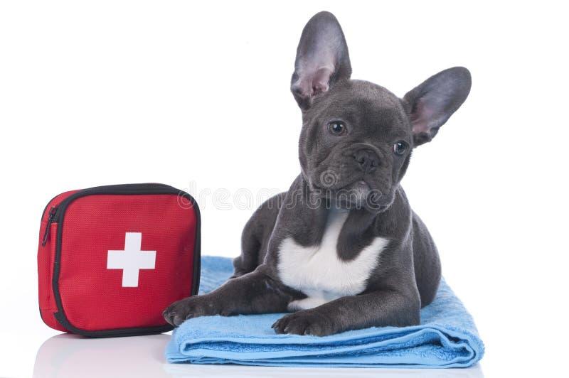Fransk bulldogg med första hjälpensatsen royaltyfria foton