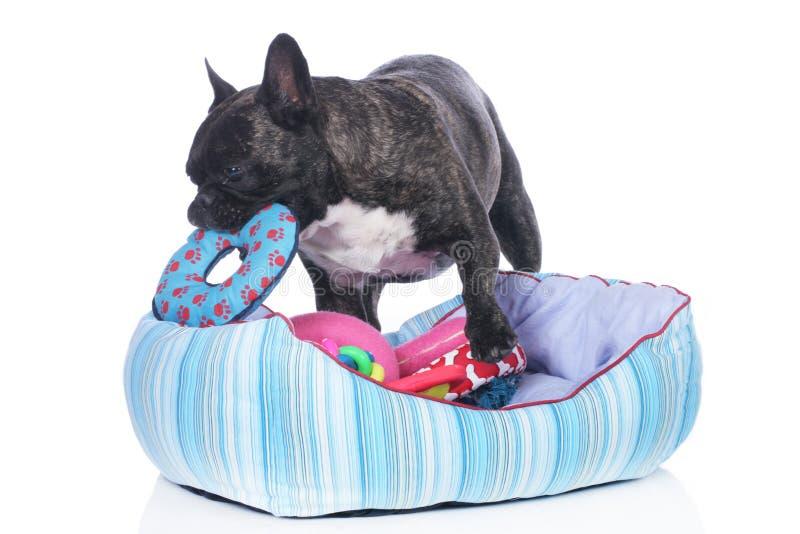 Fransk bulldogg med hundsäng och massor av leksaker arkivfoton