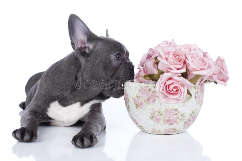 Fransk bulldogg med krukan av blommor arkivfoton