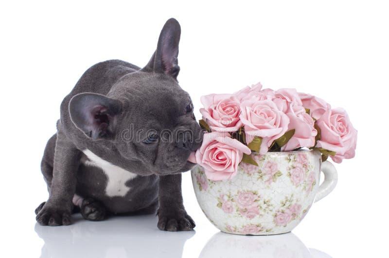 Fransk bulldogg med krukan av blommor royaltyfri bild