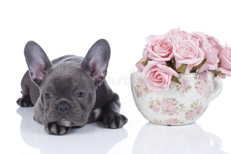 Fransk bulldogg med krukan av blommor royaltyfri fotografi