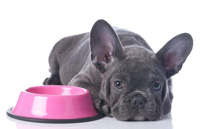 Fransk bulldogg med matskålen royaltyfria bilder