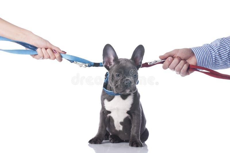 Fransk bulldogg med skilsmässa för två händer royaltyfri bild