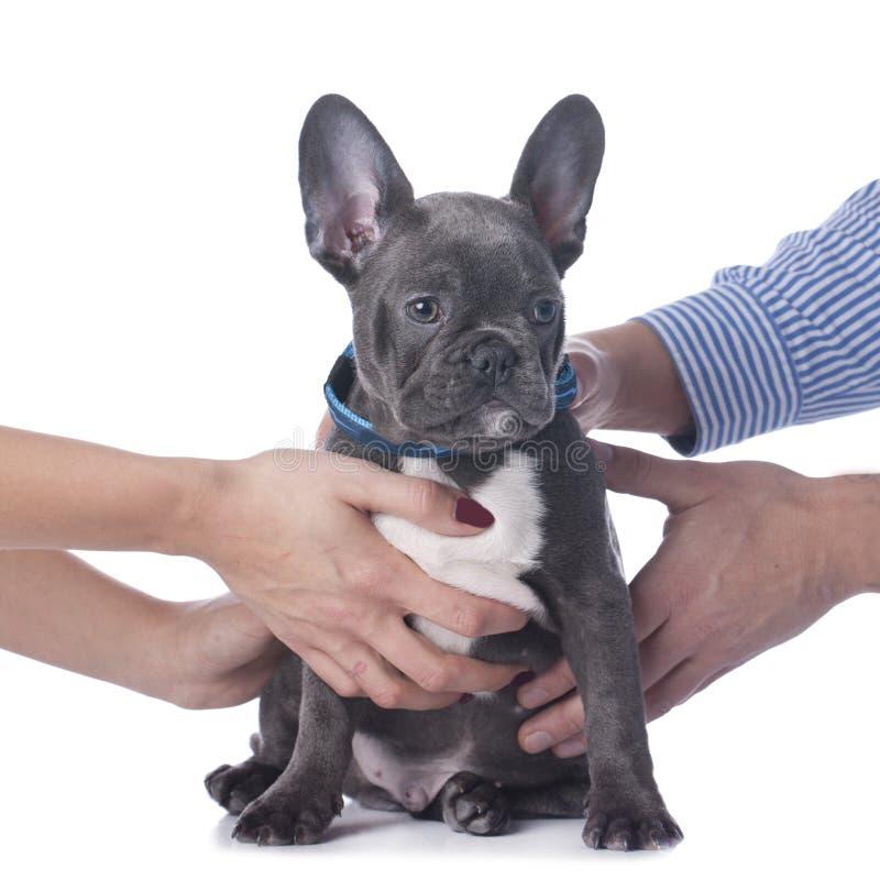 Fransk bulldogg med skilsmässa för två händer royaltyfria foton