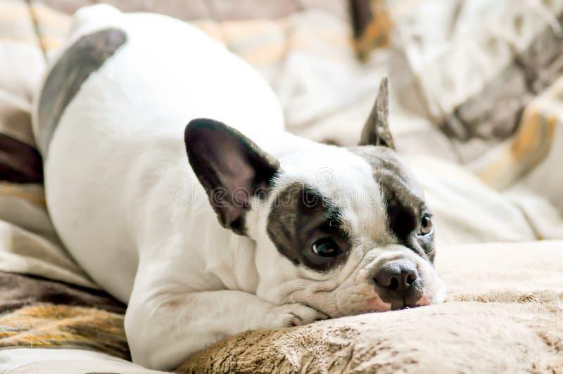Fransk bulldogg och kudde royaltyfria bilder