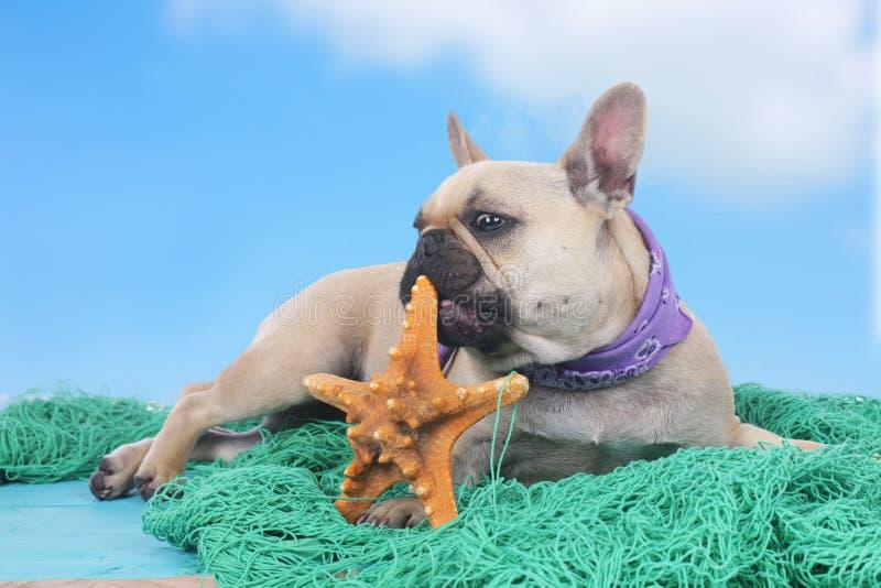 Fransk bulldogg på ferier fotografering för bildbyråer
