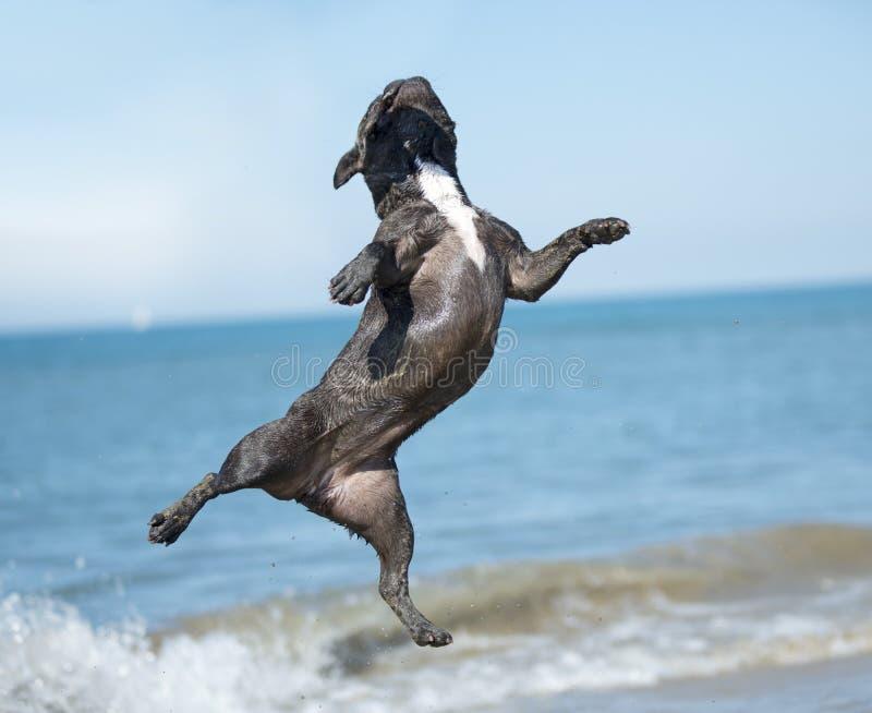 Fransk bulldogg på stranden royaltyfria foton
