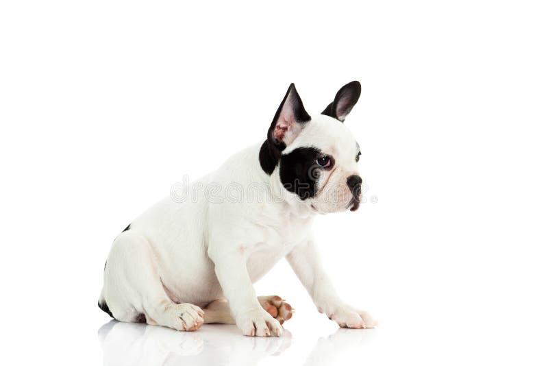 Fransk bulldogg på vit bakgrund royaltyfri bild