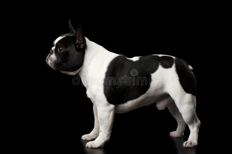 Fransk bulldogg som isoleras på svart arkivbild