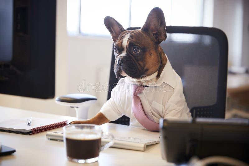 Fransk bulldogg som kläs som affärsmannen Works At Desk på datoren royaltyfri fotografi