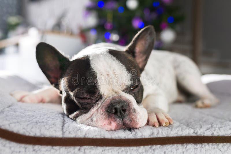 Fransk bulldogg som ligger under julträdet royaltyfria bilder