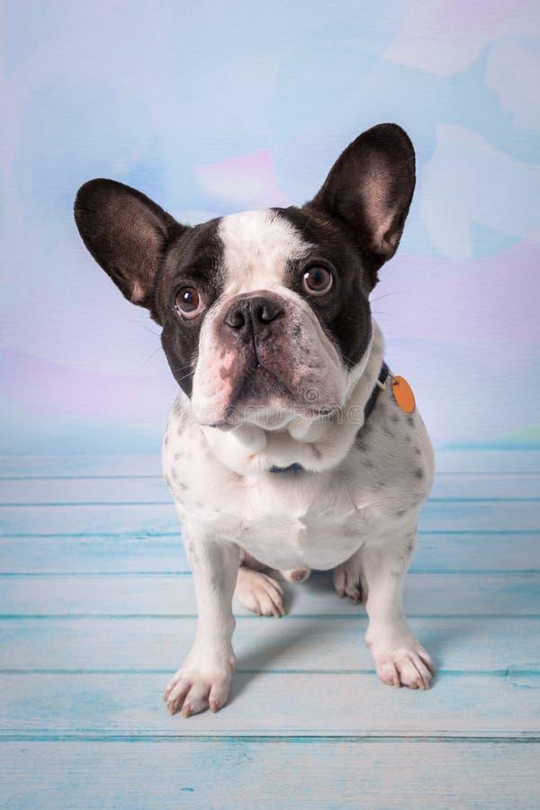 Fransk bulldogg som poserar ?ver pastellf?rgad bakgrund royaltyfri bild