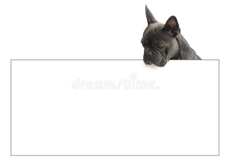 Fransk bulldogg som ser över tecken, fotografering för bildbyråer