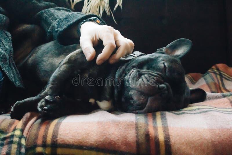 Fransk bulldogg som sover på soffan på en plädfilt bredvid hans ägare, slut upp royaltyfri bild