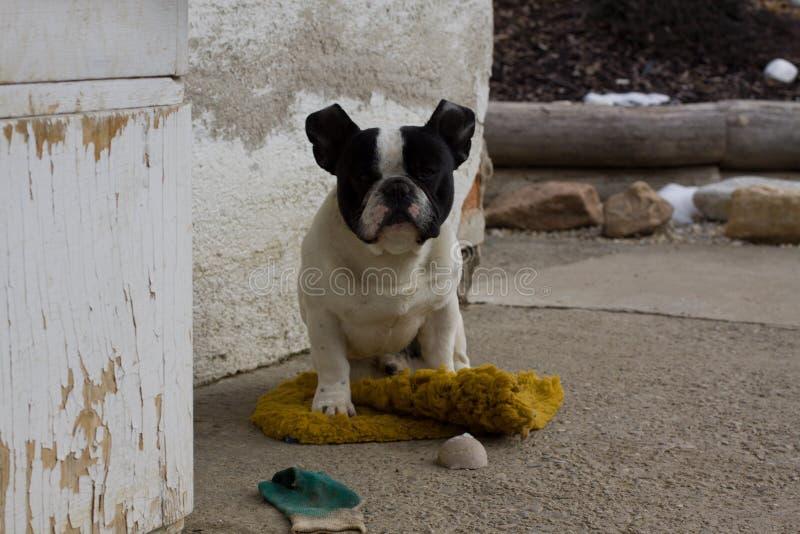 Fransk bulldogg som väntar på en matta arkivfoto