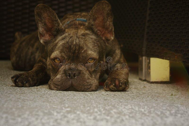 Fransk bulldogg som vilar på den tillbaka uteplatsen fotografering för bildbyråer