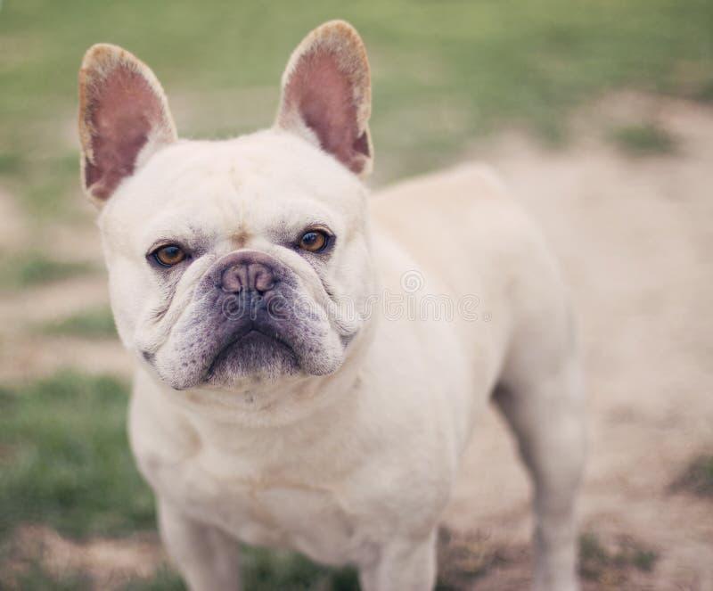 Fransk bulldoggstående fotografering för bildbyråer