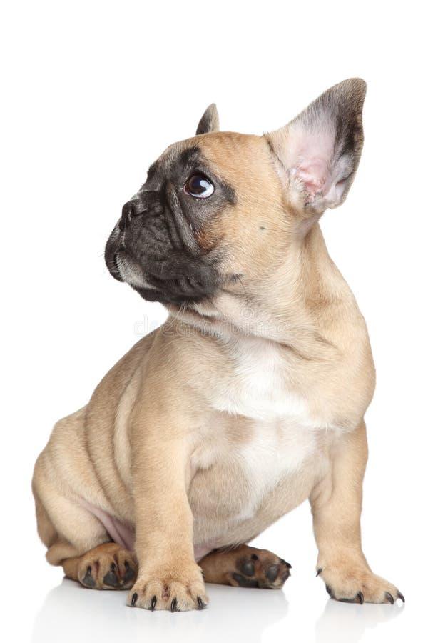 Fransk bulldoggvalp royaltyfria foton