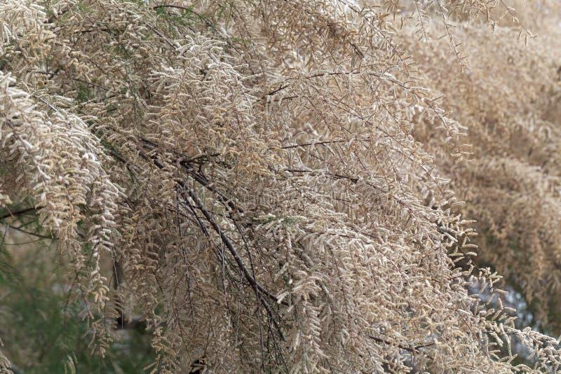 Fransk gallica för tamariskträdTamarix arkivfoton